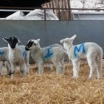 Designing shed for lambing